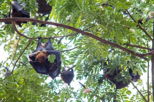bat mom breastfeeding offspring