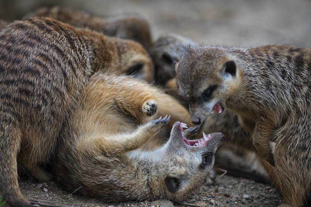 meerkat queen