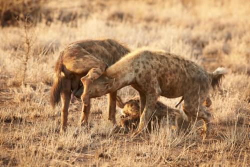 spotted hyena females