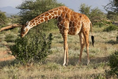 pregnant giraffe