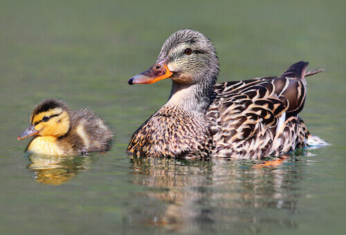 How To Take Care Of A Pet Duck  Caring Pets