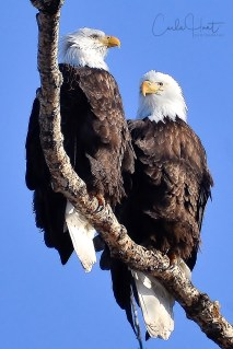 This pair of bald eagles is nesting near Kalavista Drive, Coldstream, BC.