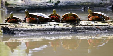Western Painted Turtles, Kalavista Lagoon, Coldstream, BC