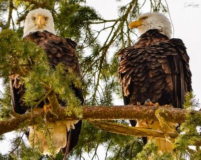 Bald eagles resting near Shuswap River, Grindrod, BC