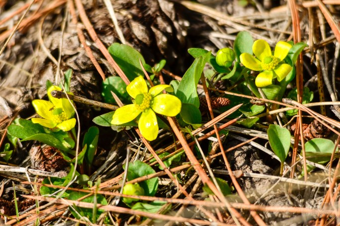 Buttercups! Armstrong, BC