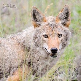 Coyote, Adventure Bay, BC