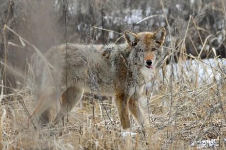 Coyote, Okanagan Landing, Vernon, BC