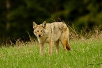 Coyote, Whitevale, BC
