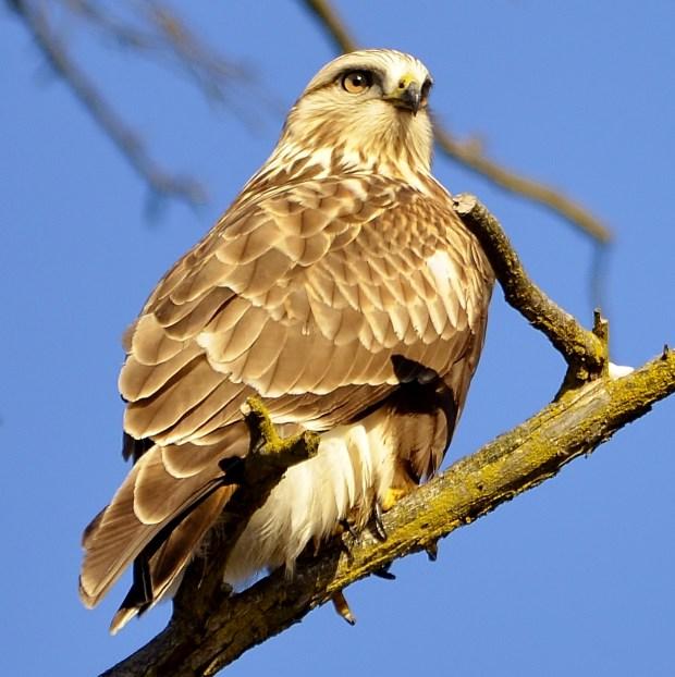 Rough-legged Hawk, Coldstream, BC