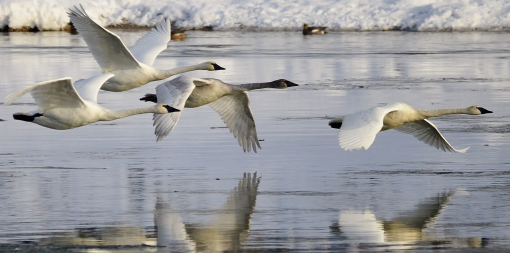 Trumpeter Swans, Shuswap River, Grindrod, BC