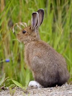 Snowshoe Hare, Oyama, BC