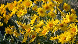 Arrow-leaf Balsamroot
