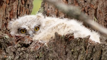 Great Horned Owlet, Armstrong, BC