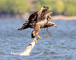 Bald eagle fishing on Shuswap Lake, Herald Provincial Park