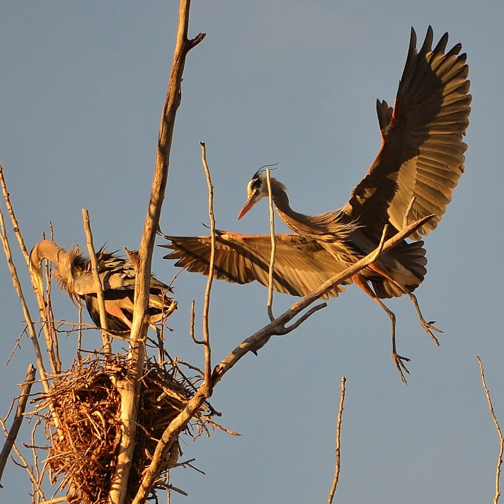 Great Blue Herons at the heron rookery, Vernon, BC