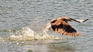 Bald eagle fishing on Round Lake, Armstrong, BC
