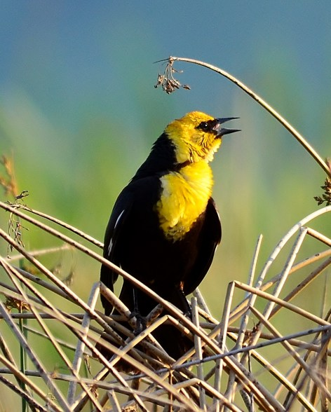 Yellow-headed Blackbird, Swan Lake, Vernon, BC
