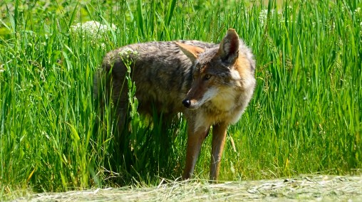Coyote, Armstrong, BC