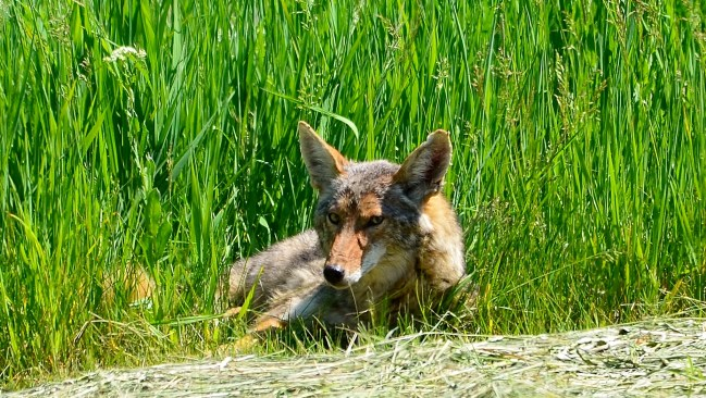 Coyote resting, Armstrong, BC