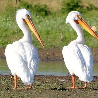 Pelicans, Swan Lake Nature Reserve, Vernon, BC - Image # 302