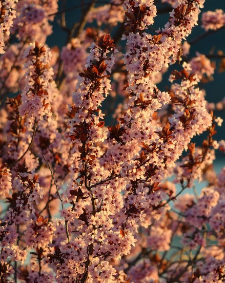 Spring blossoms with evening light, Coldstream, BC