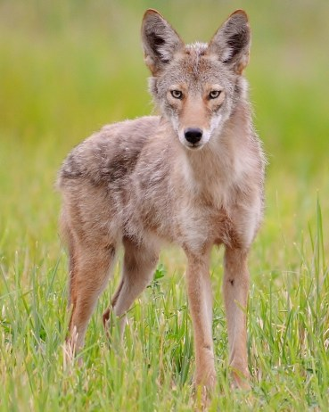 Coyote looking a little thin, Spallumcheen, BC