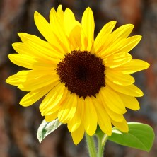 My daughter's sunflower, Coldstream, BC