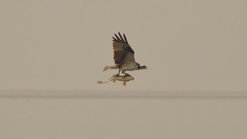 Osprey and a Fish