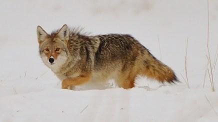 Coyote, Commonage, Vernon, BC