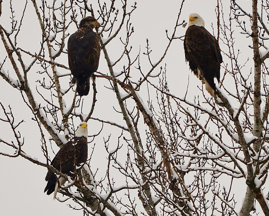 Eagle Family Portrait
