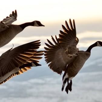 Canada Geese coming in for a landing on Kin Beach, Okanagan Lake, Vernon, BC