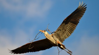 Great Blue Heron bringing back nesting materials to the heron rookery on 24th Street in Vernon, BC