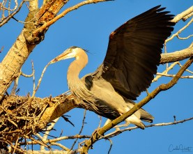 Nest building at the heron rookery, Vernon, BC