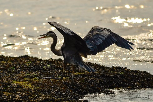 Great Blue Heron at Stanley Park