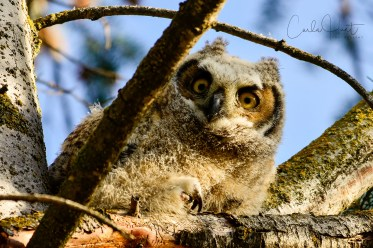 Great Horned Owlet, Coldstream, BC