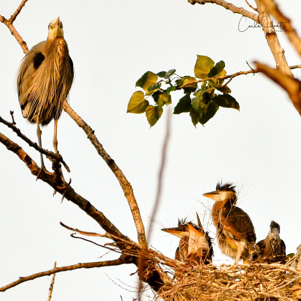 Great Blue Heron & Four Chicks!