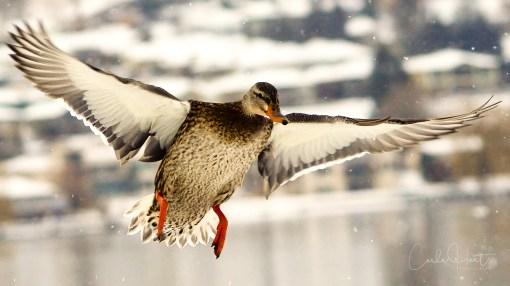 Mallard duck enjoying a winter day on Kin Beach, Vernon, BC