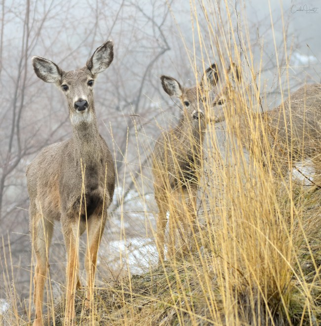 Mule Deer at the Rise, Vernon, BC