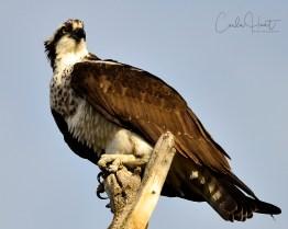 Osprey, Swan Lake, Vernon, BC