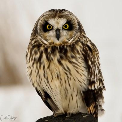 Short-eared owl, Douglas Lake, BC