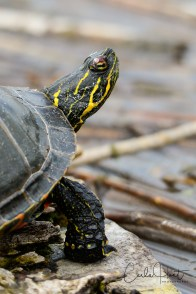 Western Painted Turtle, Swan Lake, Vernon, BC