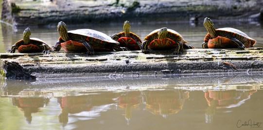 Western Painted Turtles, Kalavista Lagoon, Coldstream, BC