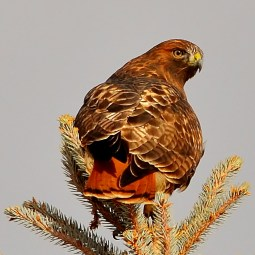 Red-tailed hawk, Coldstream, BC.