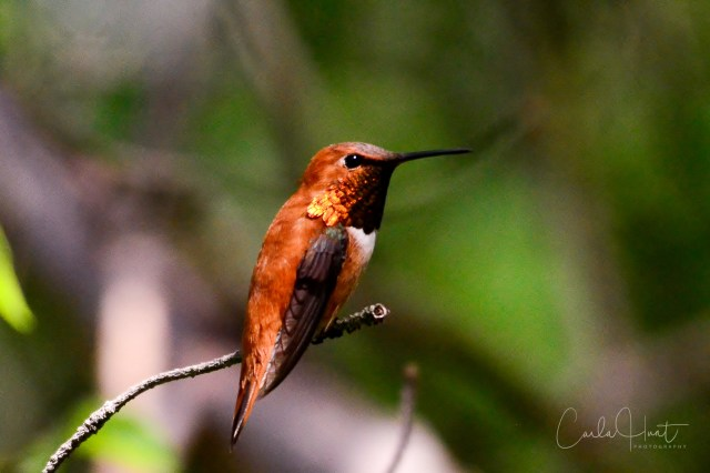 Rufous Hummingbird, Vernon, BC