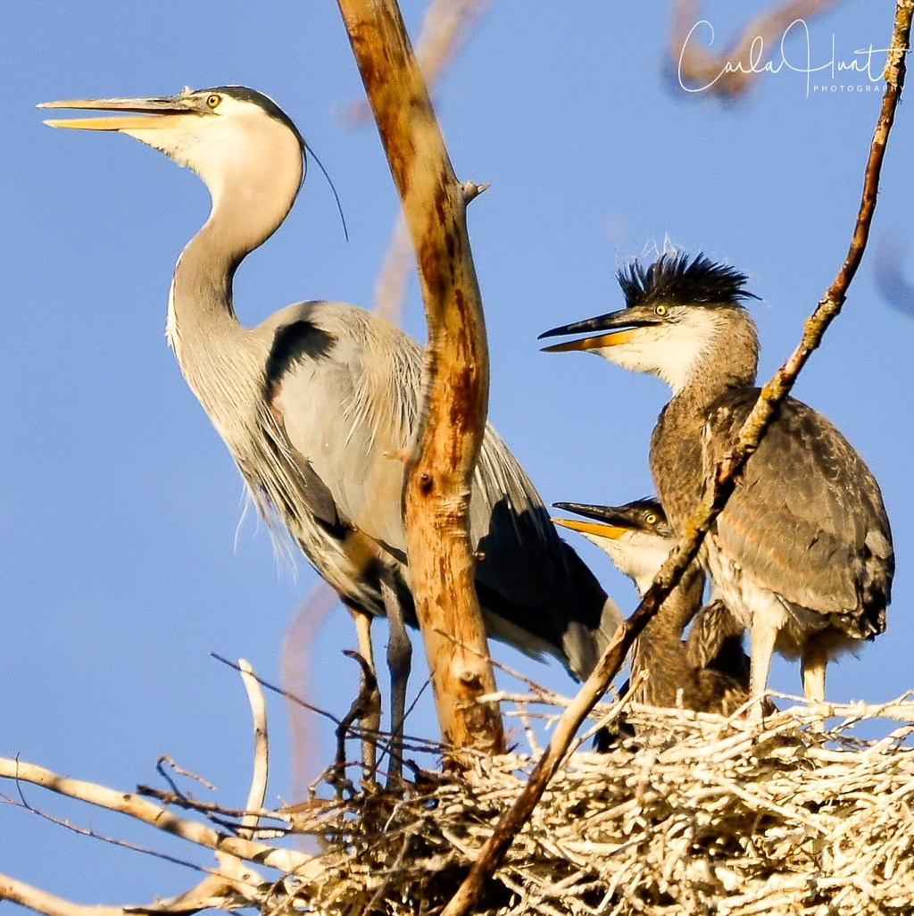 Great Blue Heron and Chicks