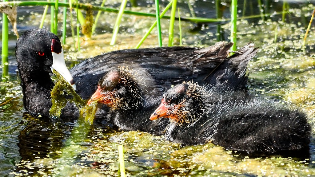 American Coots-2316