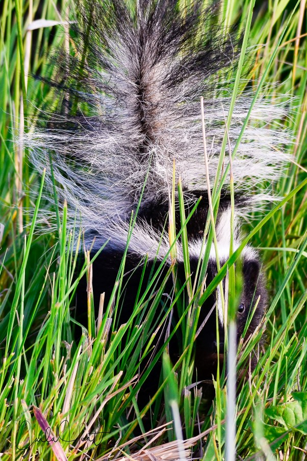 Skunk, peeking out from the grass, Spallumcheen, BC