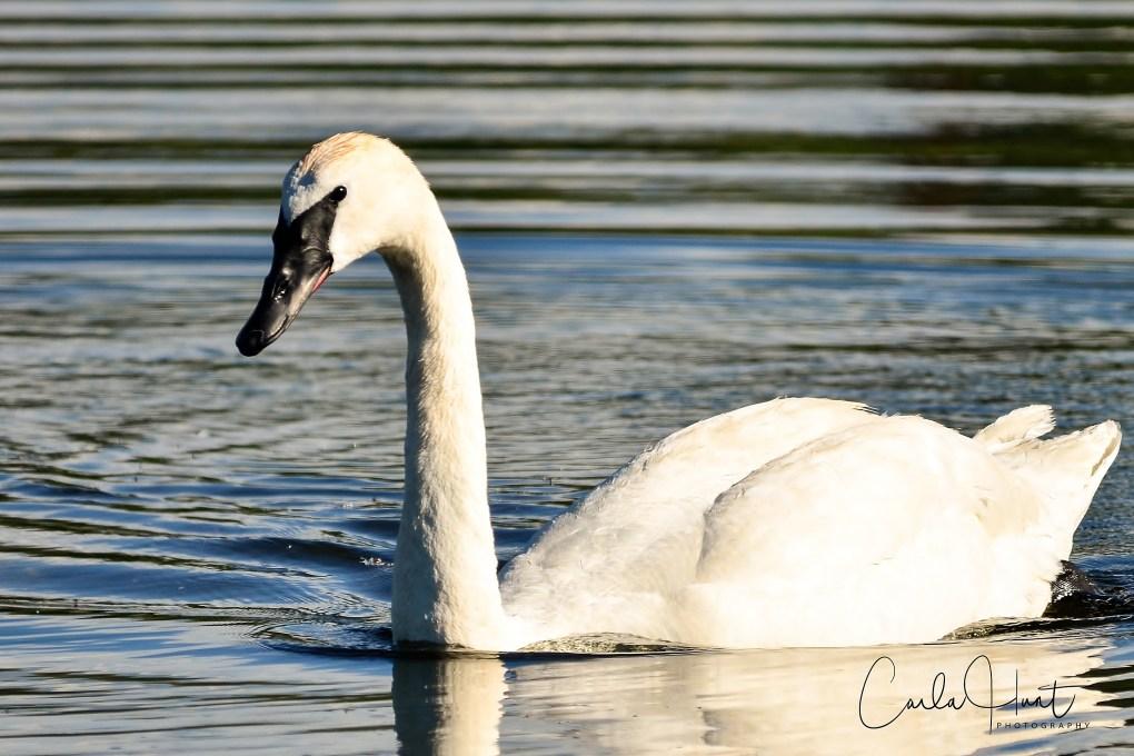 Trumpeter Swan, Vernon, BC