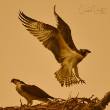 Osprey chick learning to fly under heavy wildfire smoke, Swan Lake, Vernon, BC