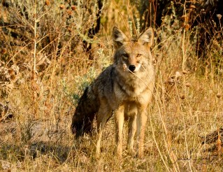 This coyote didn't give me time to re-position myself so there was nothing in front of him. Wildlife Photography 101.